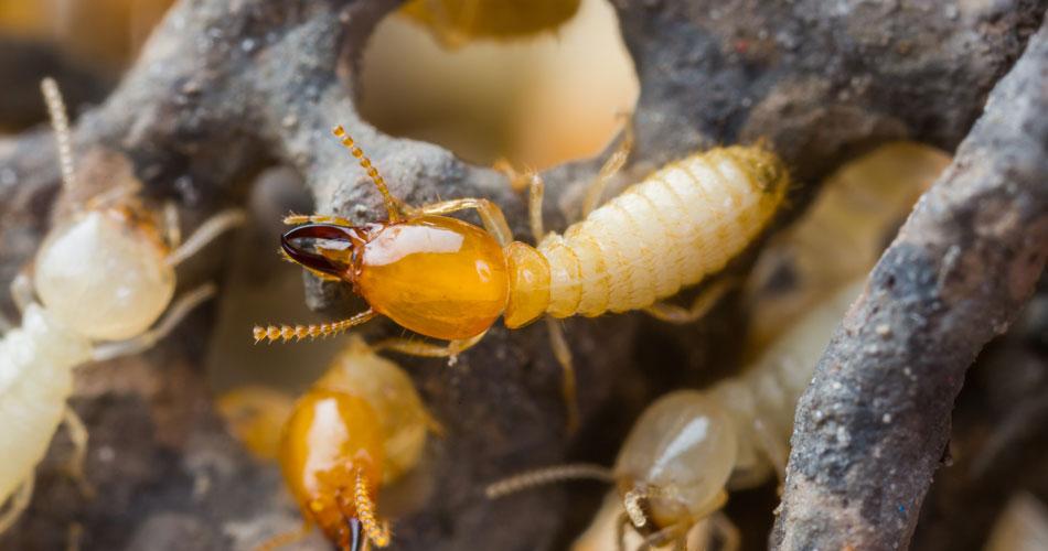 WDO Termite Testing
